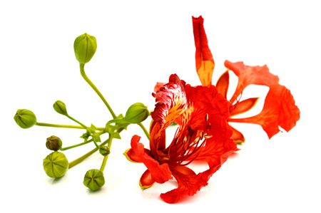 royal poinciana flower , red flower isolated on white background Banque d'images - 118987416