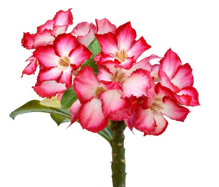 Closeup of Pink Bigononia or Desert Rose tropical flower on white background