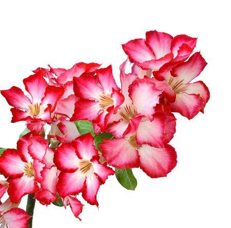 Primo piano della bigononia rosa o del fiore tropicale della rosa del deserto su fondo bianco