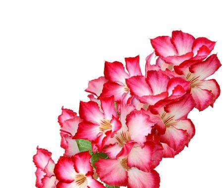 Closeup of Pink Bigononia or Desert Rose tropical flower on white background