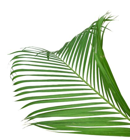 Green leaf of palm tree on white background Standard-Bild