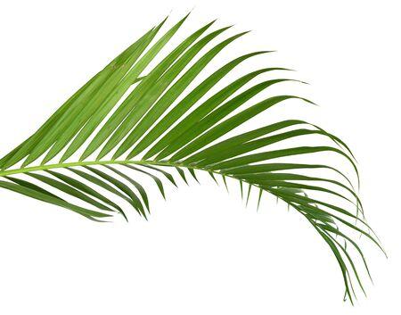 Hojas verdes de palmera sobre fondo blanco.