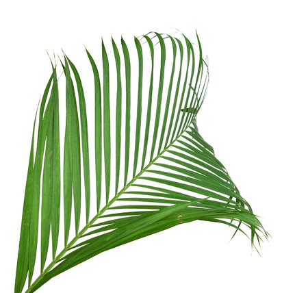 Green palm tree on white background 免版税图像