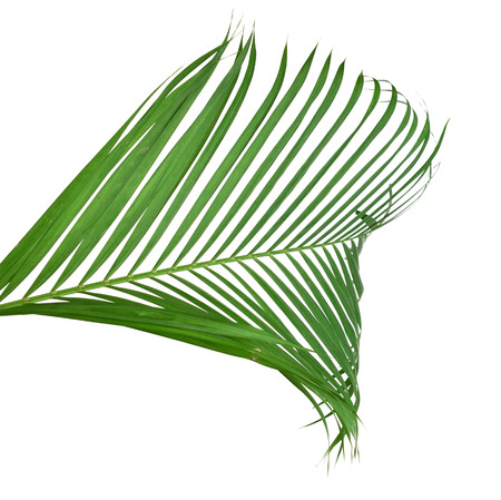 Green palm tree on white background Banco de Imagens