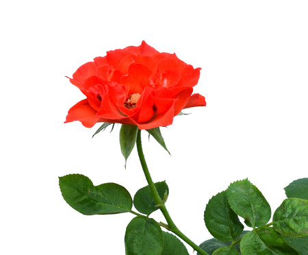one bright red rose isolated on white background 免版税图像