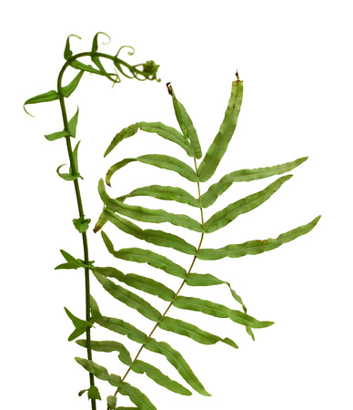 frisches Gemüsefarnblatt oder Pacofarnblatt auf weißem Hintergrund