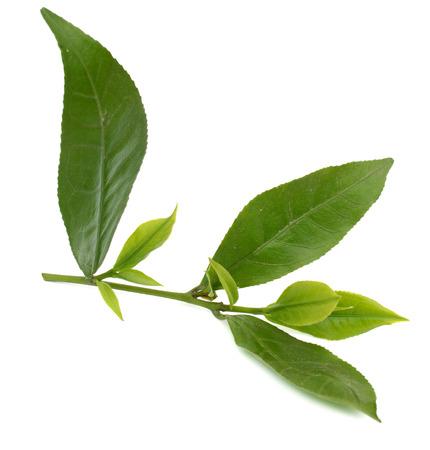 foglia di tè verde fresca isolata su sfondo bianco Archivio Fotografico