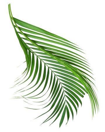 Coconut leaves or Coconut fronds, Green plam leaves, Tropical foliage isolated on white background with clipping path 免版税图像