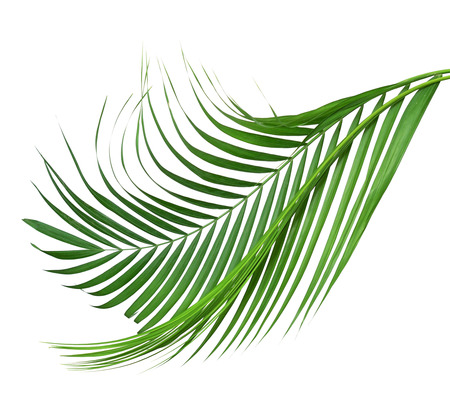 Coconut leaves or Coconut fronds, Green plam leaves, Tropical foliage isolated on white background with clipping path
