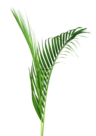 Green leaf of palm tree on white background Imagens