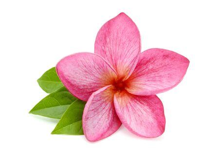 Frangipani flower isolated on white