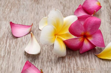 colorful plumeria flower isolated on white
