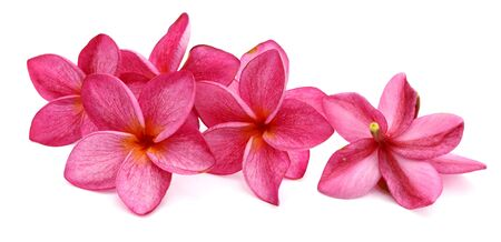 Frangipani plumeria flowers isolated on white