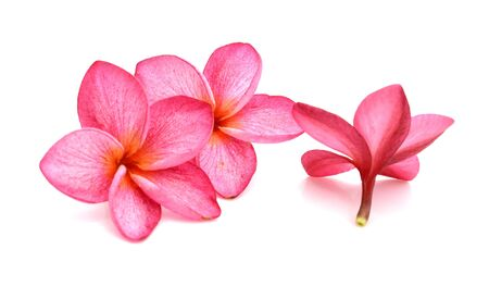 Plumeria isolated