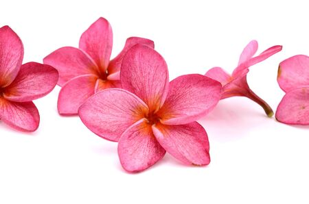 pink frangipani or plumeria (tropical flowers) isolated on white background Banco de Imagens
