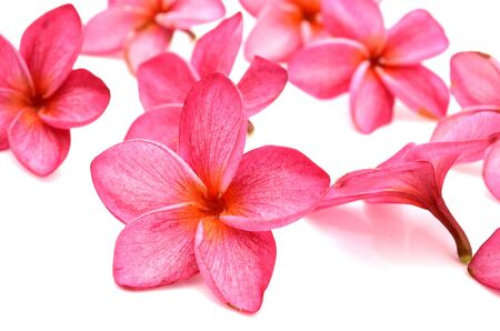 white and pink frangipani (plumeria) flower isolated on white background