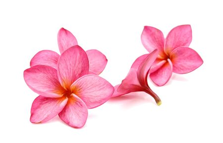 Plumeria or frangipani tropical spa flower on white background.