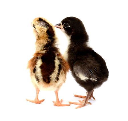 Black and yellow chickens