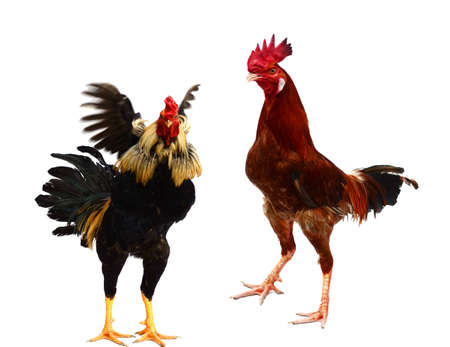Two red beautiful roosters strutting on a white background Imagens