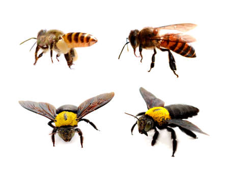 Various bees on white background. Wing, sting.