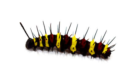 Caterpillar isolated on white background - Inachis io