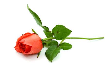 Dark red rose Banque d'images