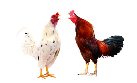 Thailand male chicken rooster isolated