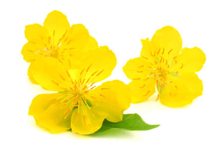Abstract background - Closeup of Yellow apricot flowers bloom in the New Year s Day 免版税图像