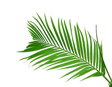 Palm fronds waving in the wind, Banque d'images