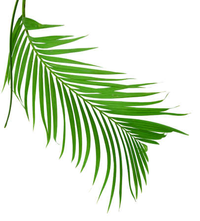 Leaves of palm tree Banque d'images