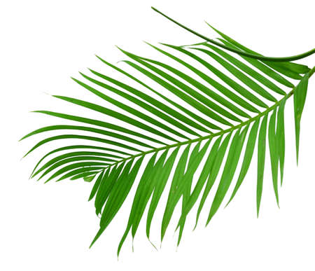 Green palm leaf isolated on white background Banque d'images