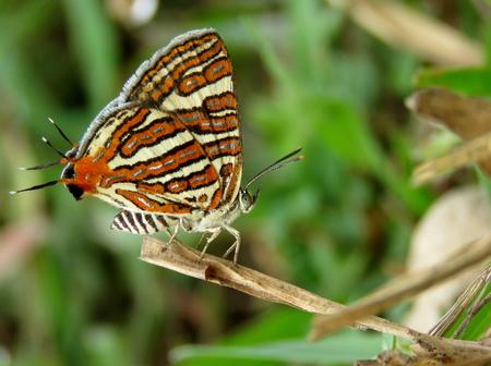silverline: Common Silverline Butterfly
