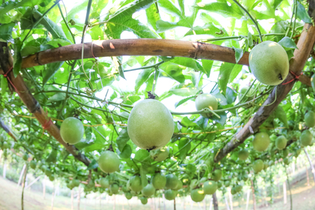 lots of raw and fresh passion fruit on the tree, passion fruit farm Stock Photo