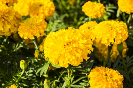 Flor Amarillo, Marigold photo