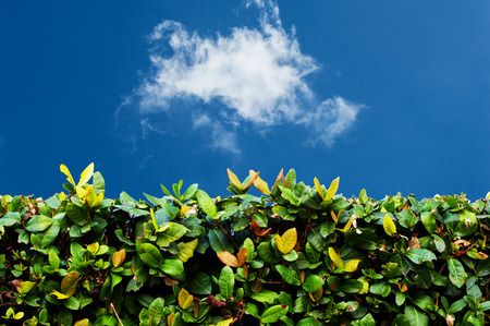 Green hedge with  blue sky and white clouds  photo