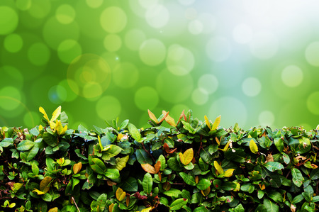 trimmed: Green hedge with bokeh background
