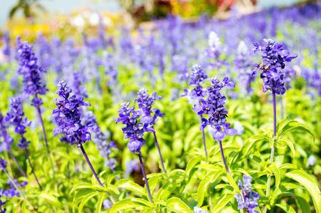 Salie (Salvia Sclarea) in de tuin Stockfoto