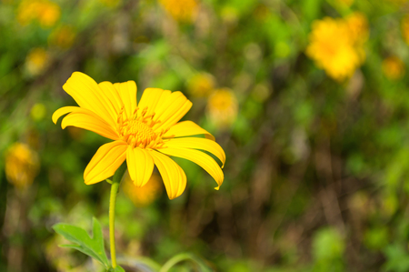tree marigold: Tree marigold, Mexican tournesol, Mexican sunflower in the garden