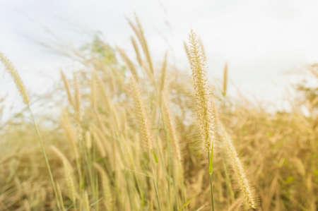 colores calidos: flor hierba en la ma�ana entonado en colores c�lidos