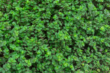 Mini turtle plants in the garden.