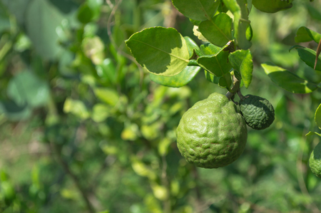 Bergamot fruits on bergamot tree with blurry green leaves background in a garden.