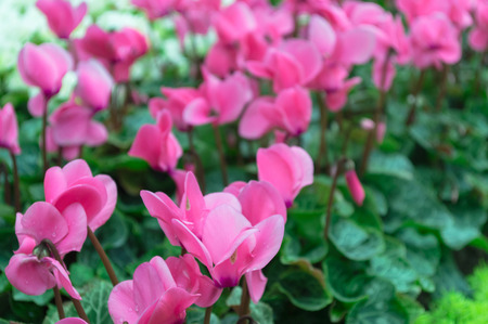 Close up of pink cyclamen flowers blossom in garden.