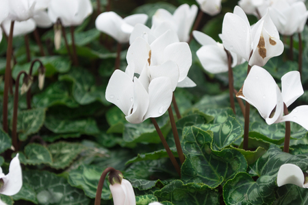 Close up of white cyclamen flowers blossom in garden. Stock Photo