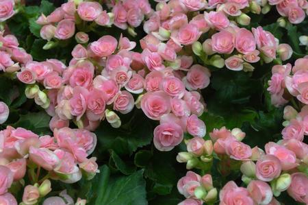 Pink begonia flower in the garden