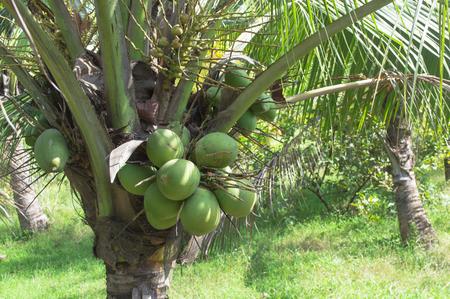 coconut fruit on tree in farm