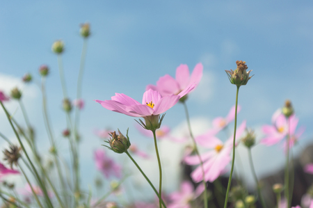 Pink Cosmos flower and blue sky in the garden