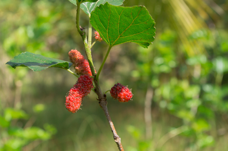 Mulberry fruit on tree in the garden