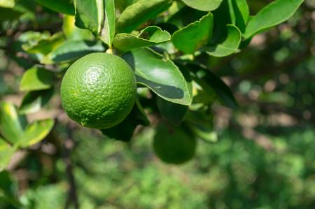 Green lemon on tree in the garden