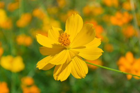 Yellow Cosmos flower  in the garden Stock Photo - 115305121