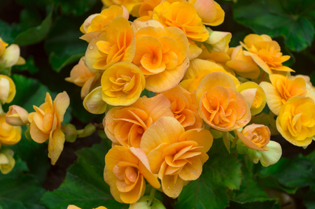 Yellow begonia flower and green Leaves in the garden.